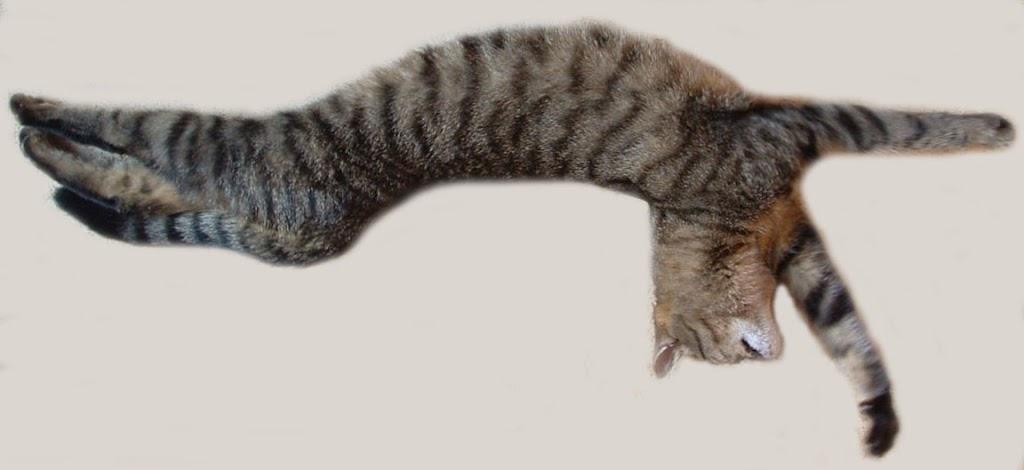 Atemberaubend Anatomie Katze Dissektion Muskeln Zeitgenössisch ...